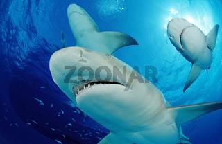 Lemon Sharks, Negaprion brevirostris, Bahamas, Grand Bahama Island, Atlantic Ocean