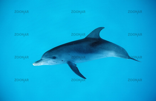 Atlantic spotted dolphin, Stenella frontalis, USA, Florida, Atlantic Ocean