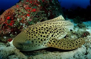 Leopardenhai