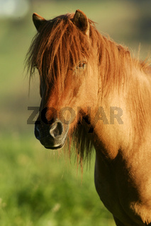 Islandpferd, Islandic Horse, Icelandic Horse, Iceland Pony, Islandpony