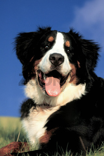 Bernese Mountain Dog / Berner Sennenhund