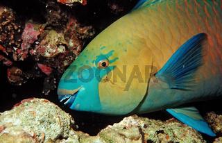 Gruenwangen-Papageifisch, Sacarus prasiognathos,Greentroat parrotfishes, Sudan, Rotes Meer