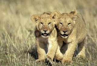 Lion, Loewe, Panthera leo, Masai Mara Wildlife Reservation, Kenya, Kenia, Africa, Afrika.