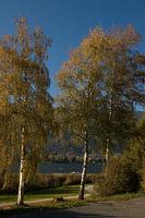 3 Birken am See im Herbst