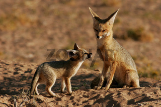 cape fox pup greets mom