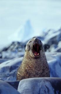 Südlicher Seebär schreit