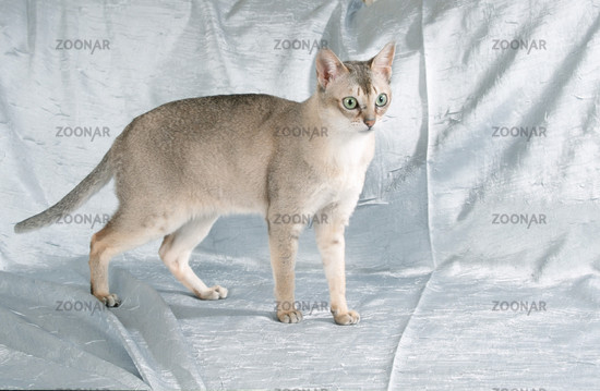 Singapura Cat / Singapurakatze. Add to my picking list