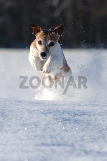 Rennende Jack Russel Terrier im Schnee
