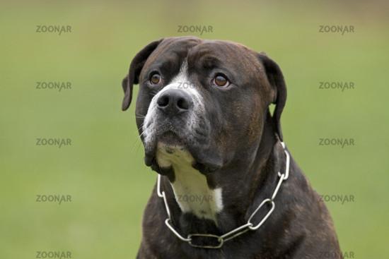 Photo American Bulldog- Rottweiler Mischung, Mix-Breed-Dog Image