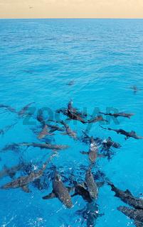 Zitronenhai, Wasseroberflaeche, Negaprion brevirostris, Lemon Shark, Bahamas