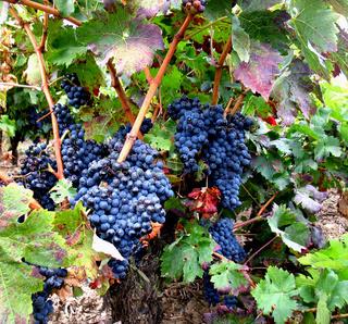 tempranillo, rote weinrebe, vitis vinifera, spanien, red grapevine, spain