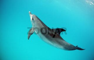 Atlantischer Fleckendelfin, Zuegeldelfin, Stenella frontalis, Florida, USA