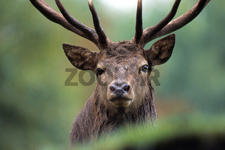 Rothirsch / Red Deer / Cervus elaphus