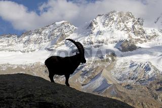 Steinbock als Silhouette vor einem Bergmassiv