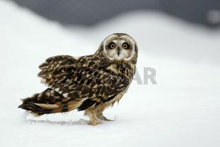Sumpfohreule, Asio flammeus, Short-eared Owl