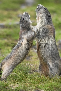 Alpenmurmeltier, Alpine Marmot
