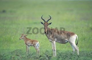 Kongoni kuhantilope und calb  alcephalus buselaphus  hartebeest