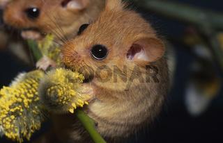 Haselmaus / Hazel Dormouse / Muscardinus avellanarius