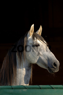 Hengstportrait, Stallion Portrait in Stable