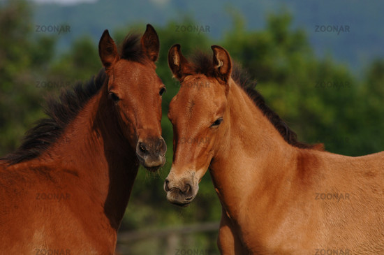 pura raza espanola, pre, andalusier, Andalusian Horse, Fohlen, Andalusierfohlen, Pre-Fohlen, Foal