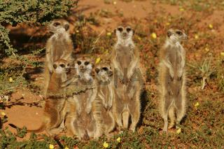 sun basking suricate family