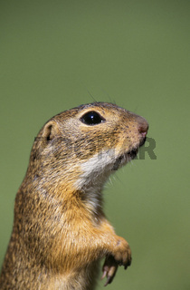 Suslik / European Ground Squirrel / Ziesel