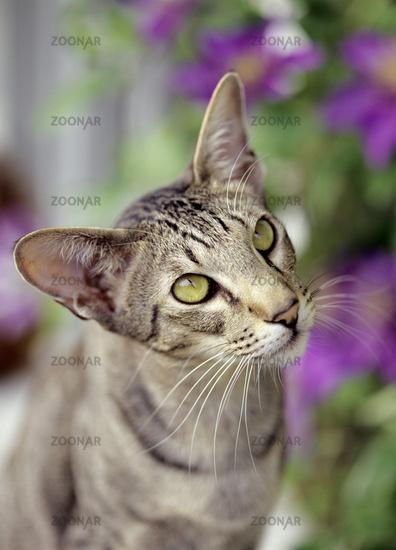 Oriental Shorthair Cat, black, tabby, spotted