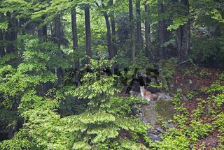 Lynx, Lynx Lynx, Luchs, Nordluchs, Nationalpark Bavarian Forest, Germany, Nationalpark Bayerischer Wald, Deutschland