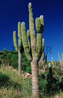 Cardon cactus in desert, Pachycereus pringlei, Mexico, Sea of Cortez, Baja California, La Paz
