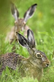 Europaeischer Feldhase, European Brown Hare