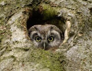 Rauhfusskauz, Aegolius funereus, Tengmalms Owl, Tengmalm Owl, Europe, Europa