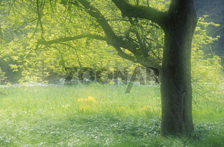 Tree and Daffodils / Baum und Osterglocken