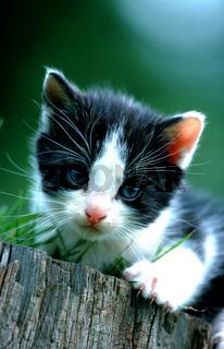 Domestic Cat, kitten, outdoor / Hauskatze, Jungtier, draussen