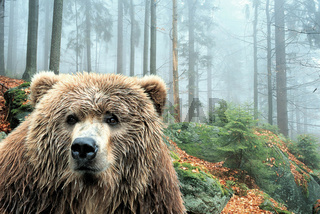 Brown Bear / Braunbaer