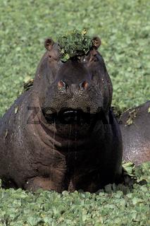 Hippopotamus, Flusspferd,