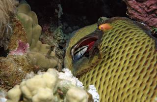 Grüner Riesendrückerfisch und Putzerfisch