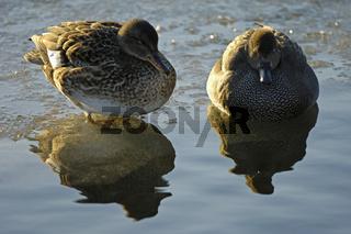 Schnatterenten (Weibchen und Maennchen), Gadwalls (female and male)