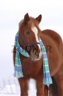 Horse with scarf in the winter, Pferd mit Schal im Winter