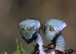 Pilzpaar
