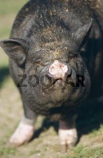 Haengebauchschwein / Pot-Bellied Pig