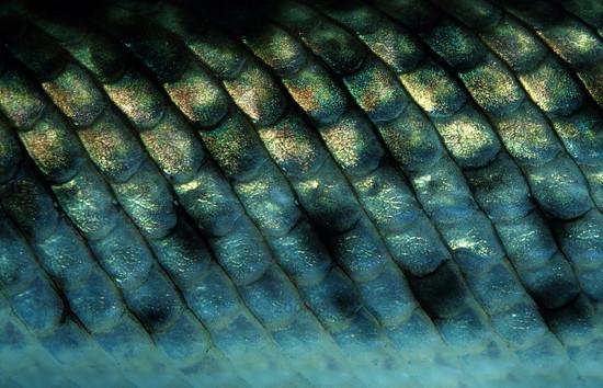 fischschuppen fischschuppenkrankheit heilung