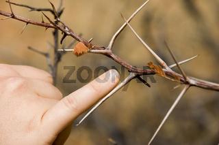 Thorn of the savannah