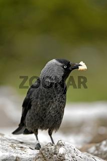 Dohle, Jackdaw, Corvus monedula, Europe, Europa