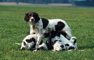 Haushund, Canis lupus familiaris, domestic dog