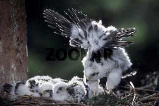 Sperber, Sparrowhawk, accipiter nisus, europe, europa