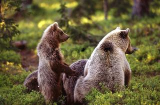 Braunbaer, Mutter mit einjaehrigen Jungtieren, Nord-Ost-Finnland