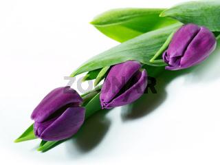 Lila Tulpen auf weissem Grund.