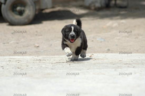 Mastin Espagnol Dog