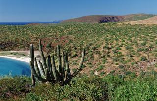 Kakteen, Kueste, Pachycereus pringlei, Mexiko