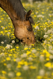 Brown horse's head in the dandelion